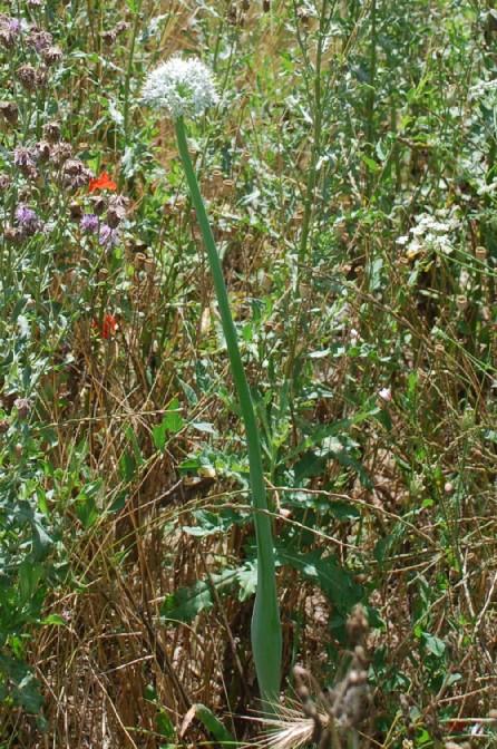 Allium cepa 11