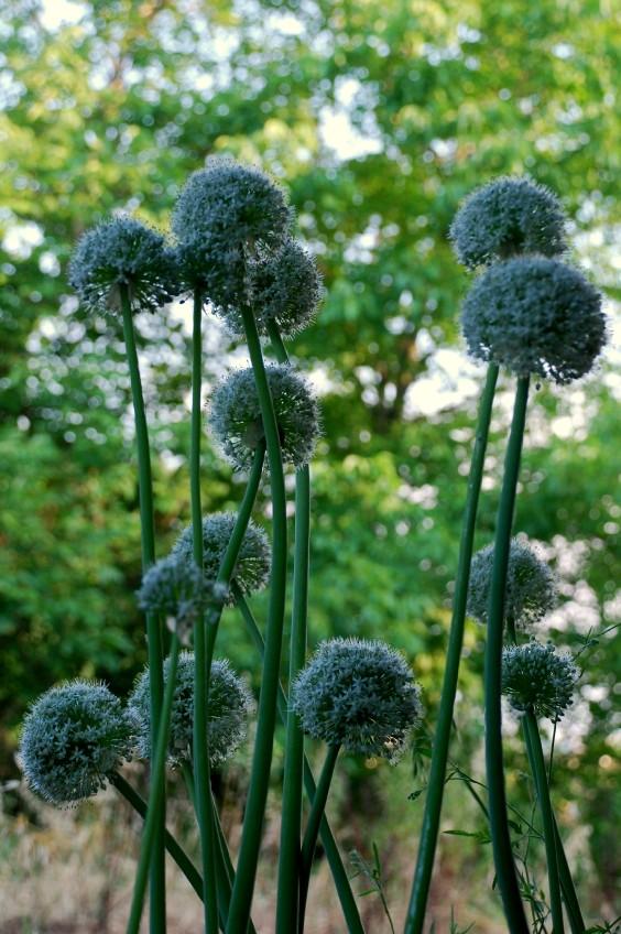 Allium cepa 12