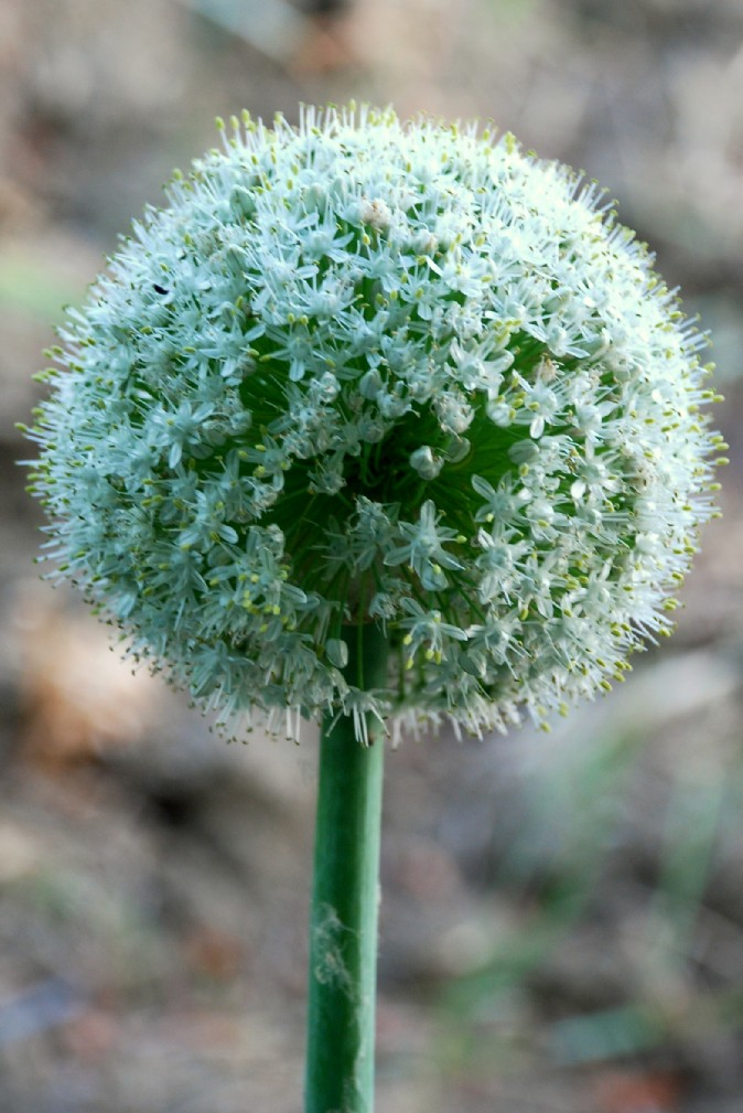 Allium cepa 2