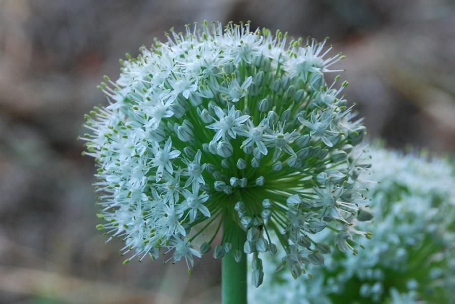 Allium cepa 6