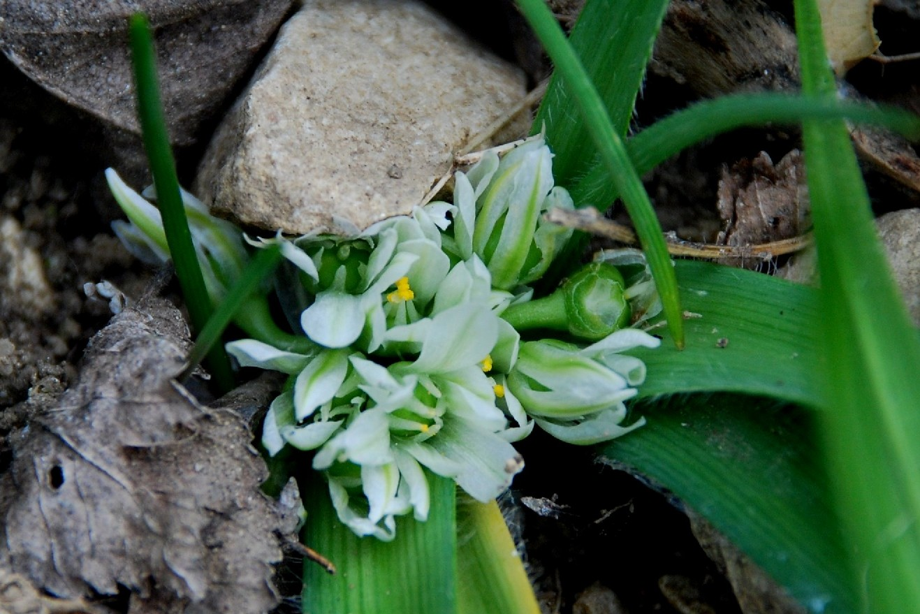 Allium chamaemoly
