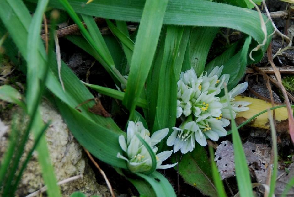 Allium chamaemoly 5