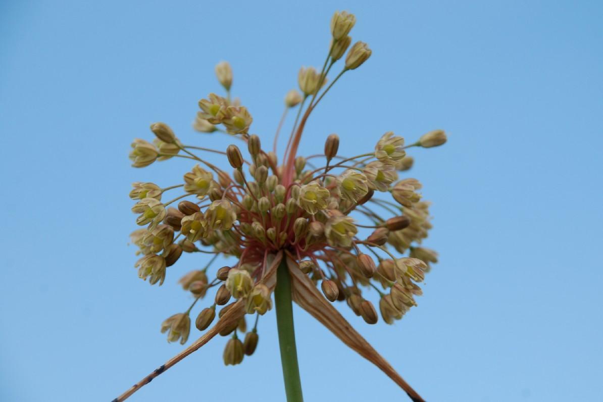 Allium longispathum