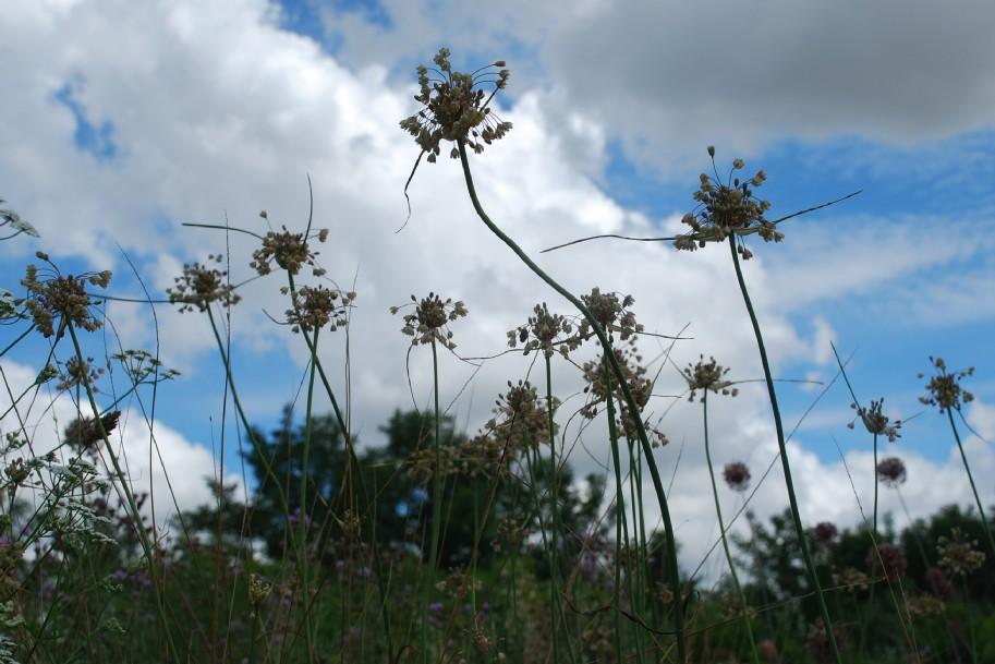 Allium longispathum 11