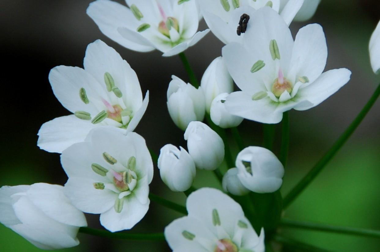 Allium neapolitanum 10