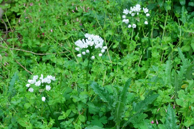 Allium neapolitanum 13