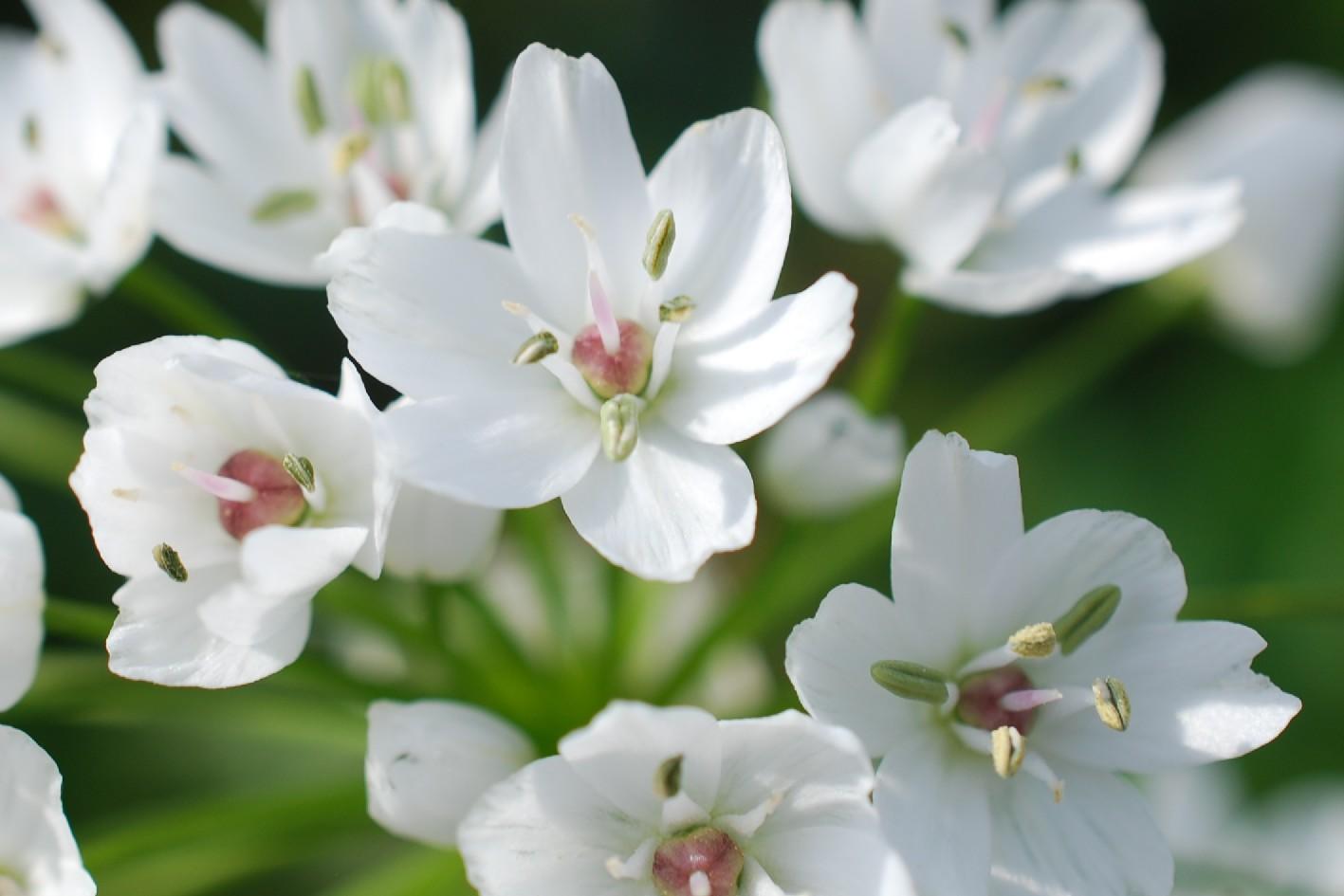 Allium neapolitanum 17