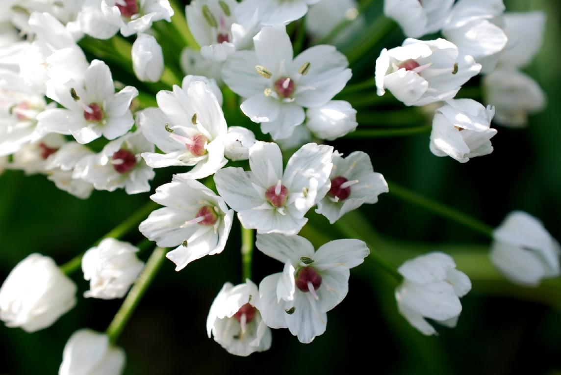 Allium neapolitanum 18