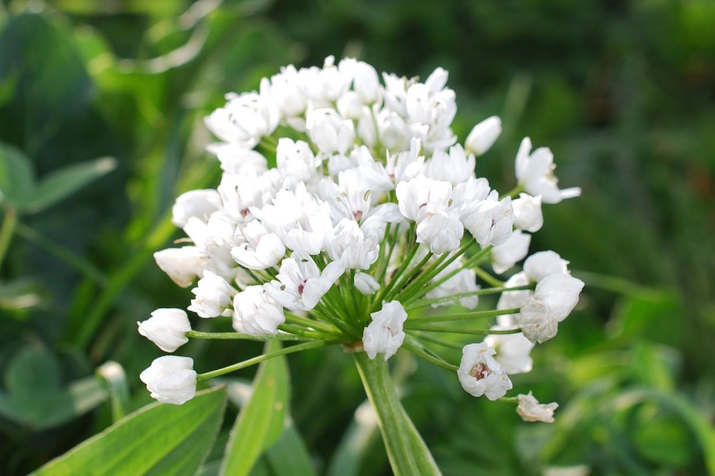 Allium neapolitanum 19