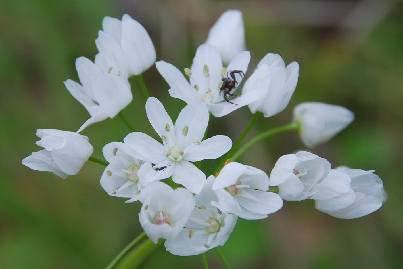 Allium neapolitanum 2