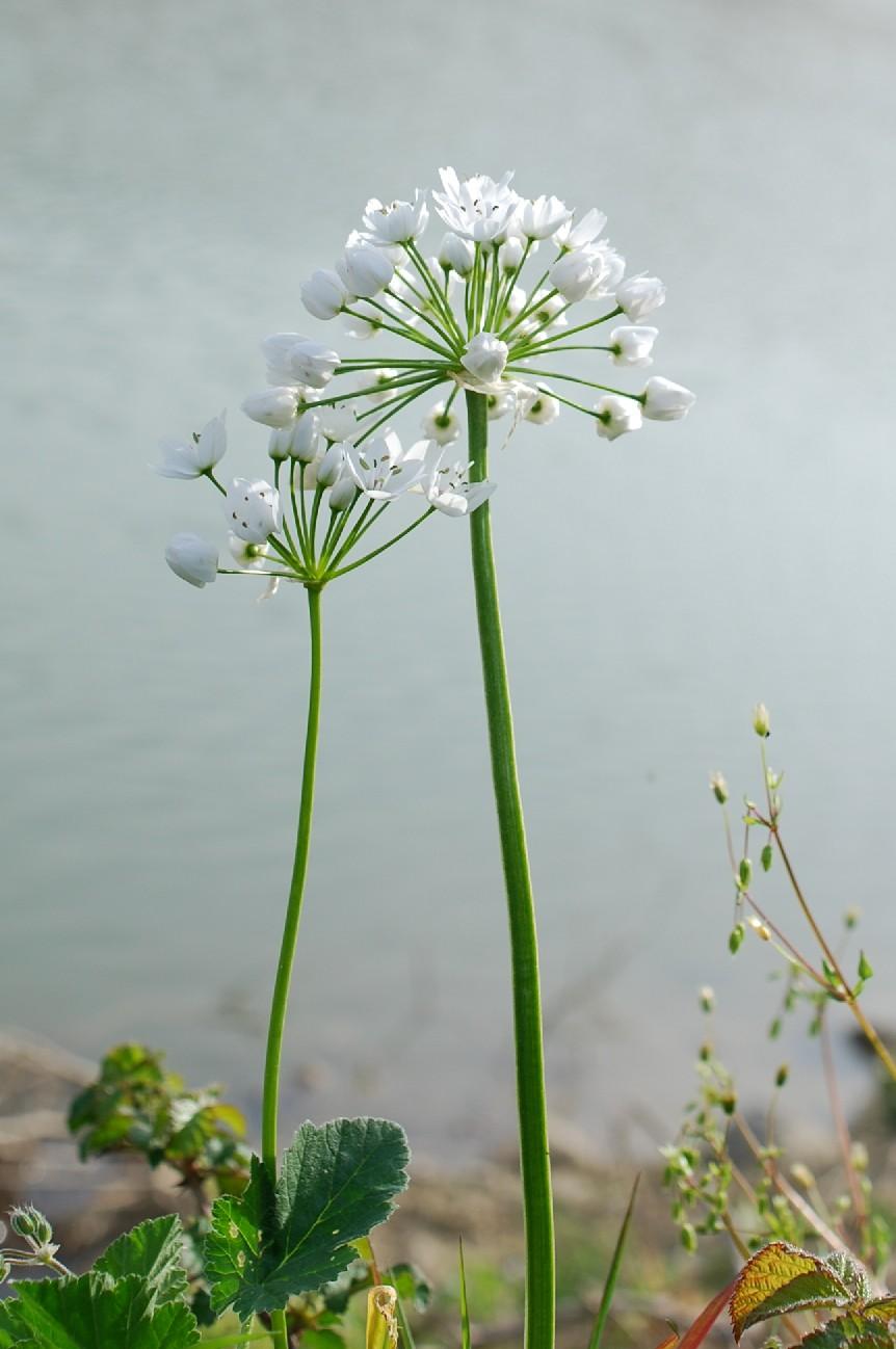 Allium neapolitanum 20