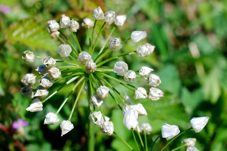 Allium neapolitanum 24