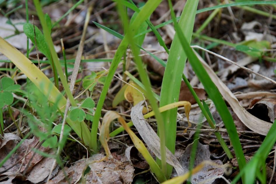 Allium neapolitanum 5