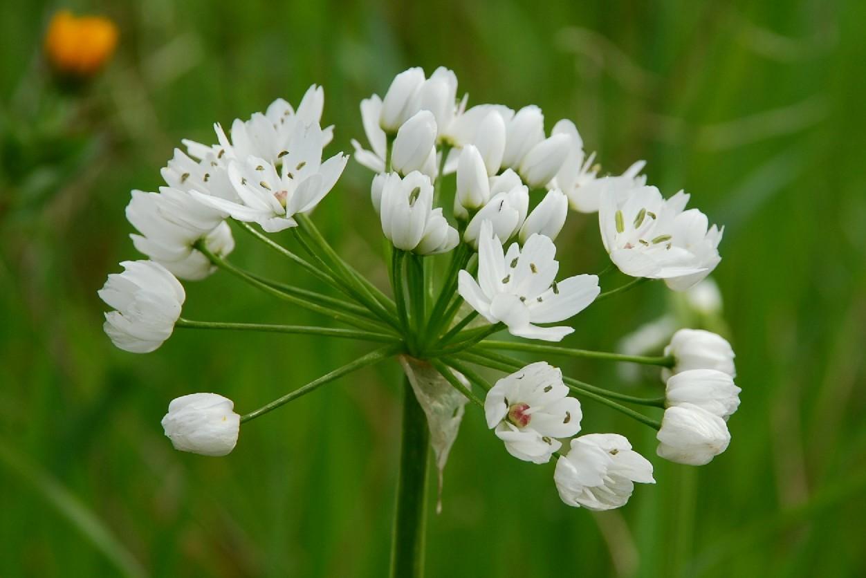 Allium neapolitanum 6