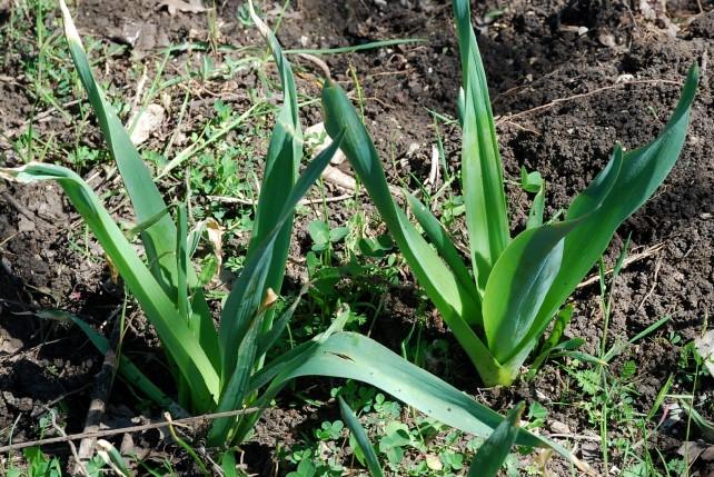 Allium nigrum 10