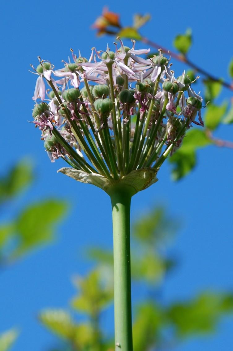 Allium nigrum 13