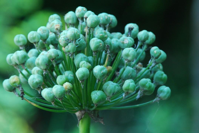 Allium nigrum 16