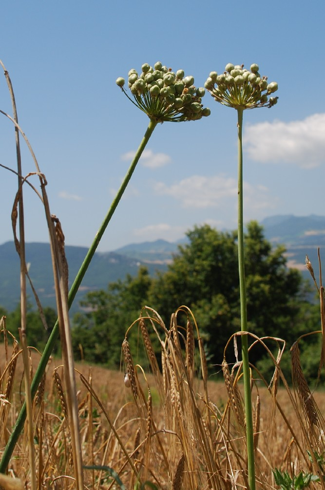 Allium nigrum 18