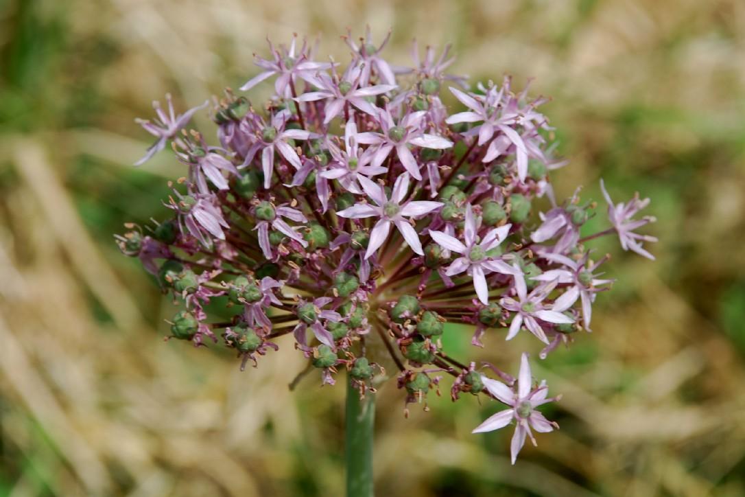 Allium nigrum 19