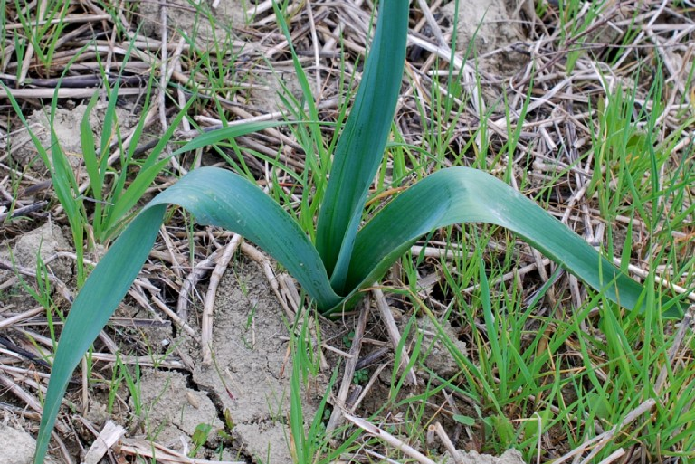Allium nigrum 21