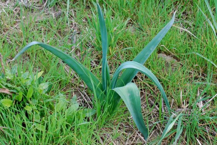Allium nigrum 22