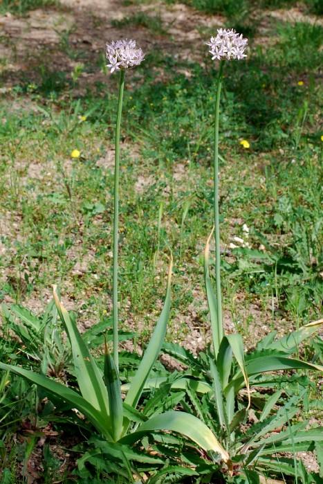 Allium nigrum 4