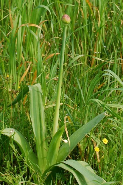Allium nigrum 8