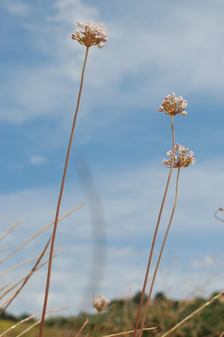 Allium pallens 10
