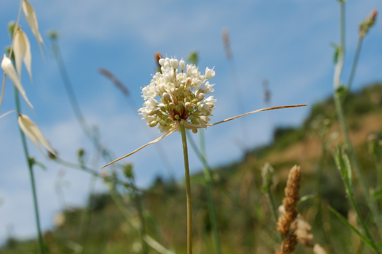 Allium pallens 13