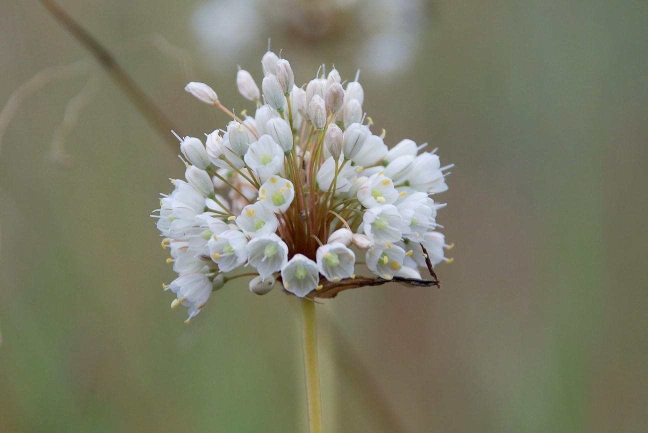 Allium pallens 2