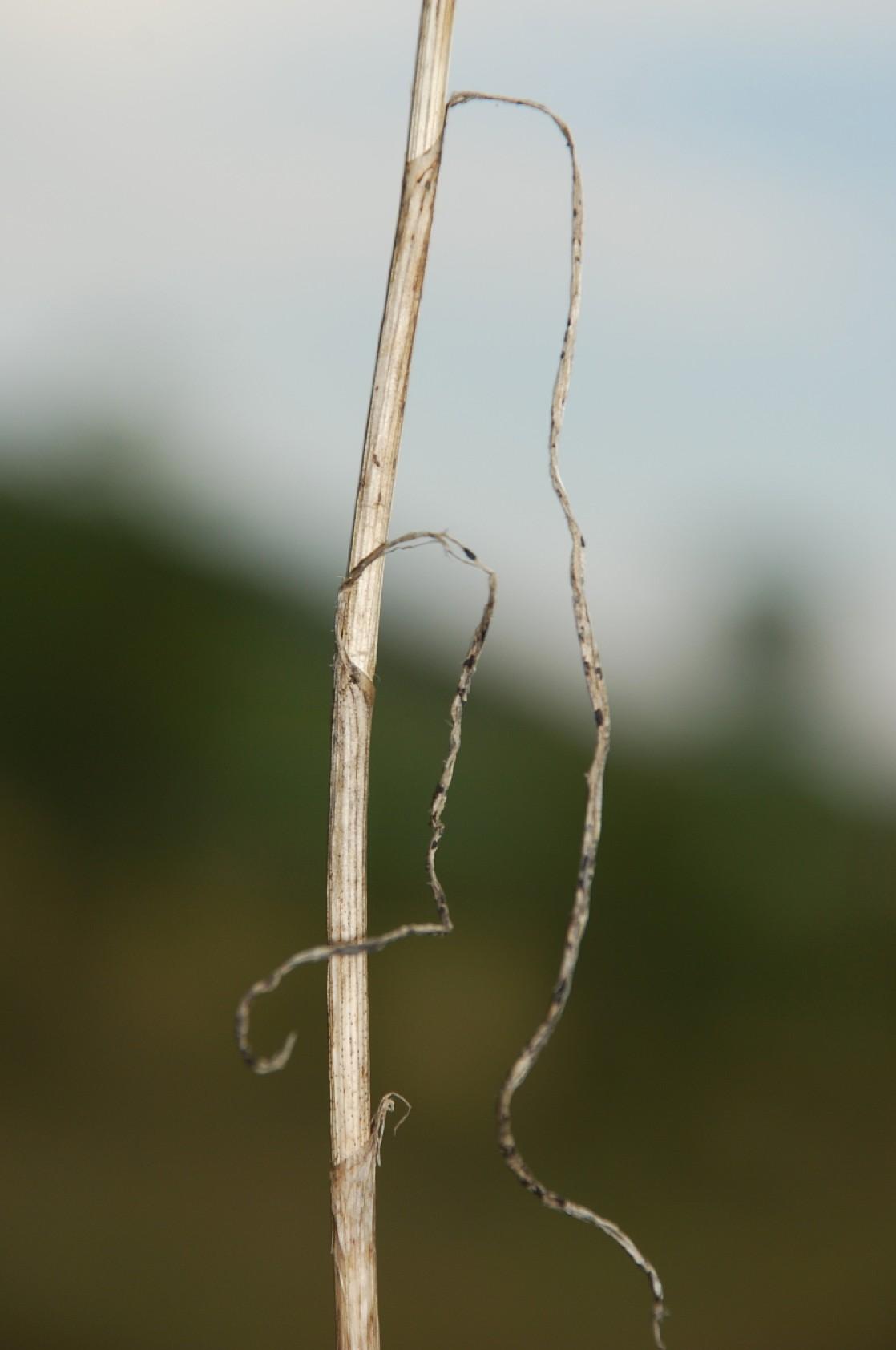 Allium pallens 4
