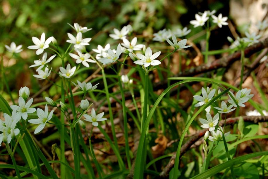 Allium pendulinum 4