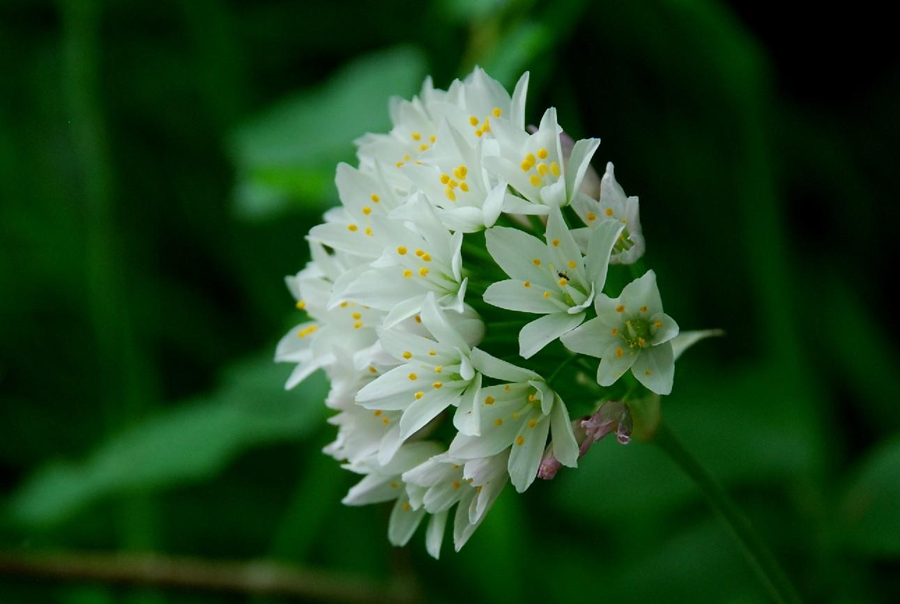 Allium roseum 11
