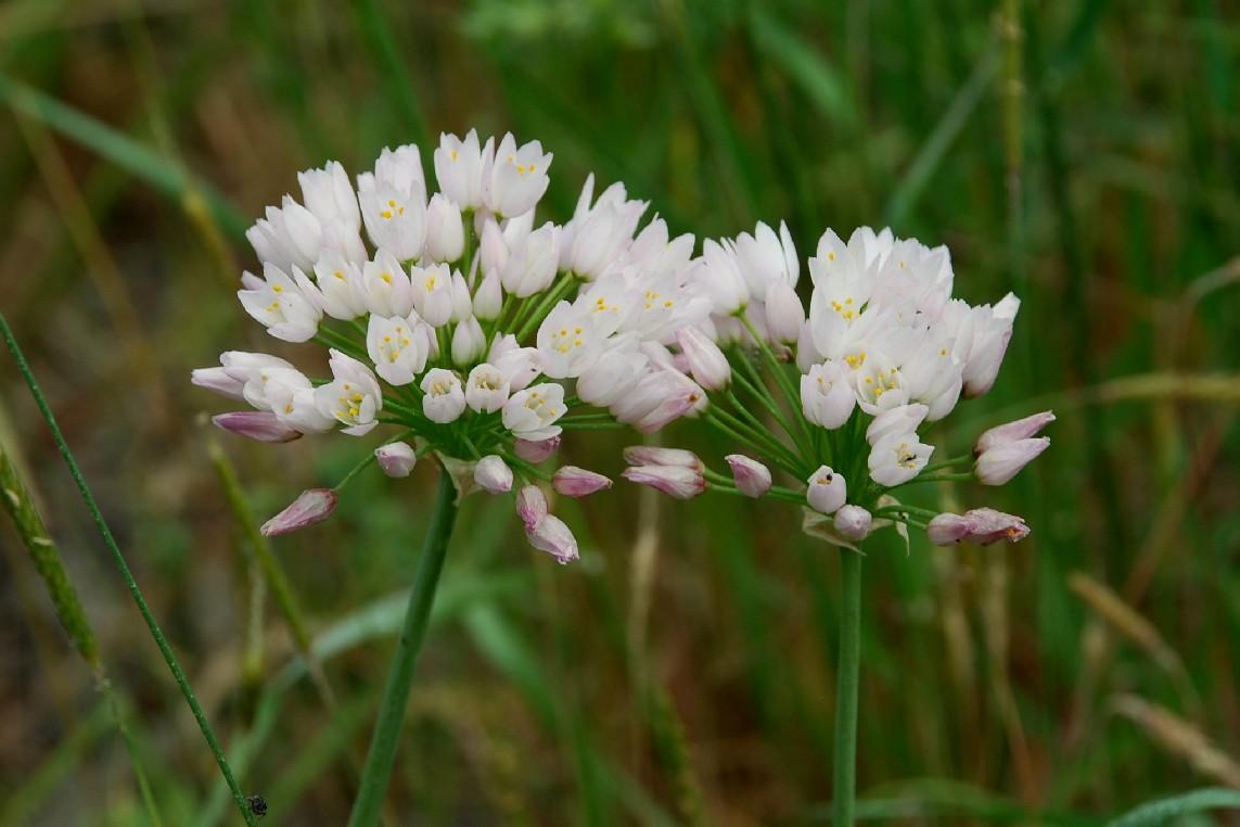 Allium roseum 12