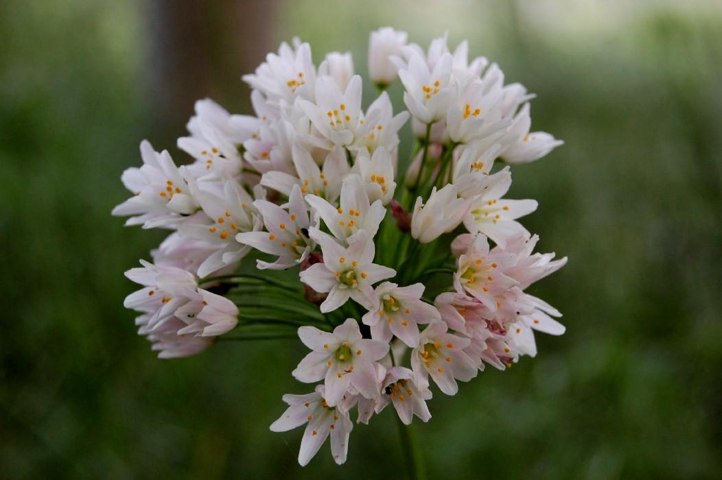 Allium roseum 2