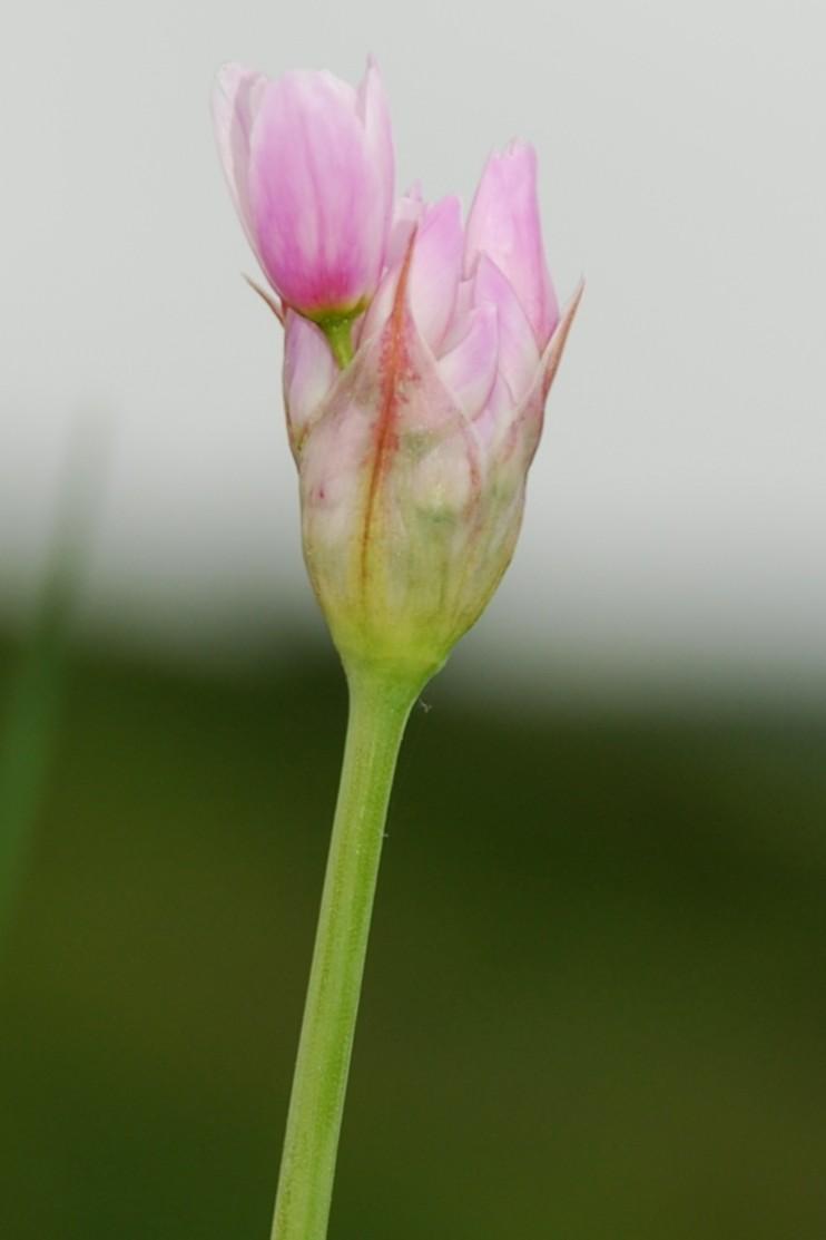 Allium roseum 5