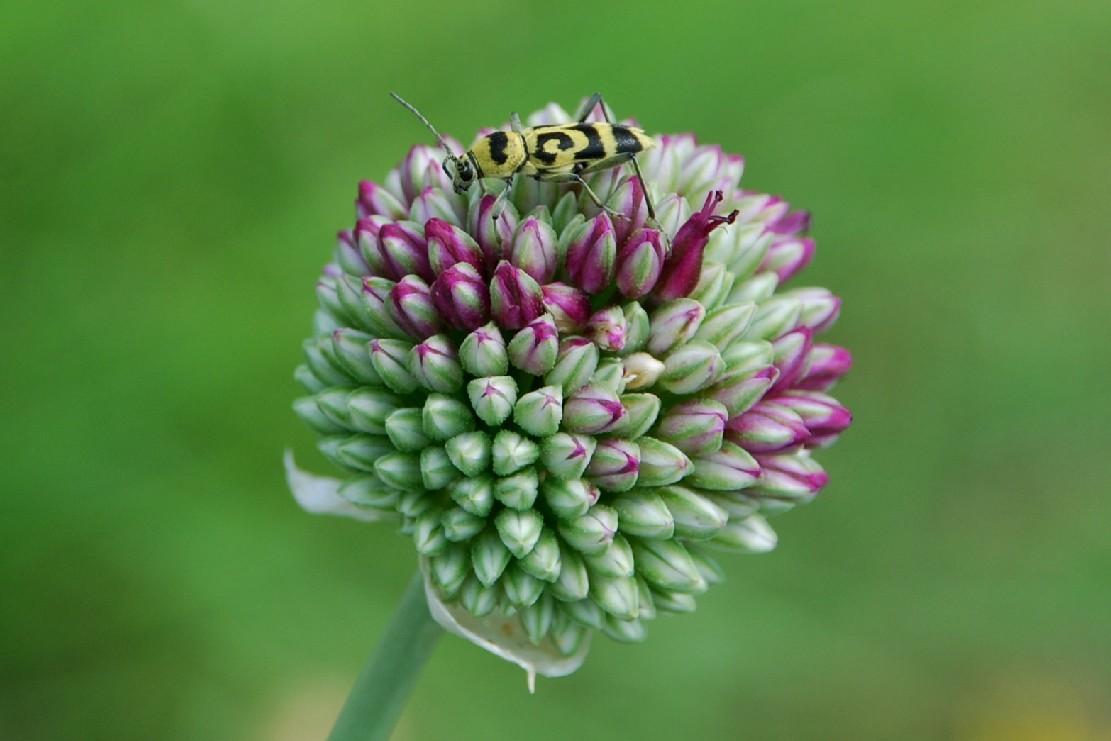 Allium sphaerocephalon 10