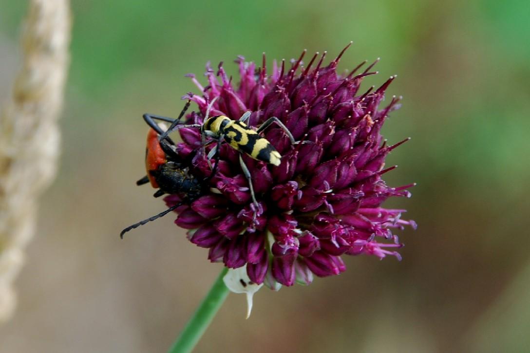 Allium sphaerocephalon 14