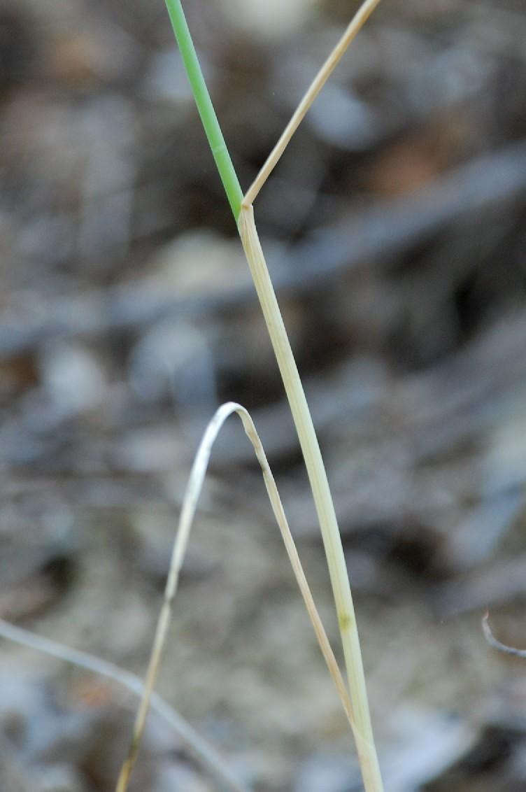 Allium sphaerocephalon 5
