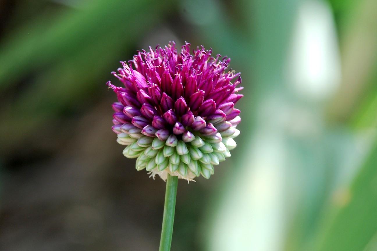 Allium sphaerocephalon 7