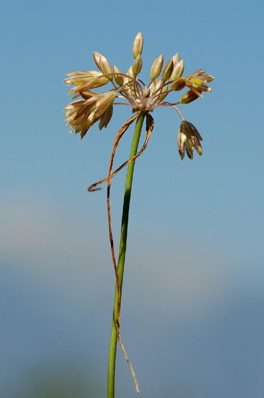 Allium tenuiflorum 10