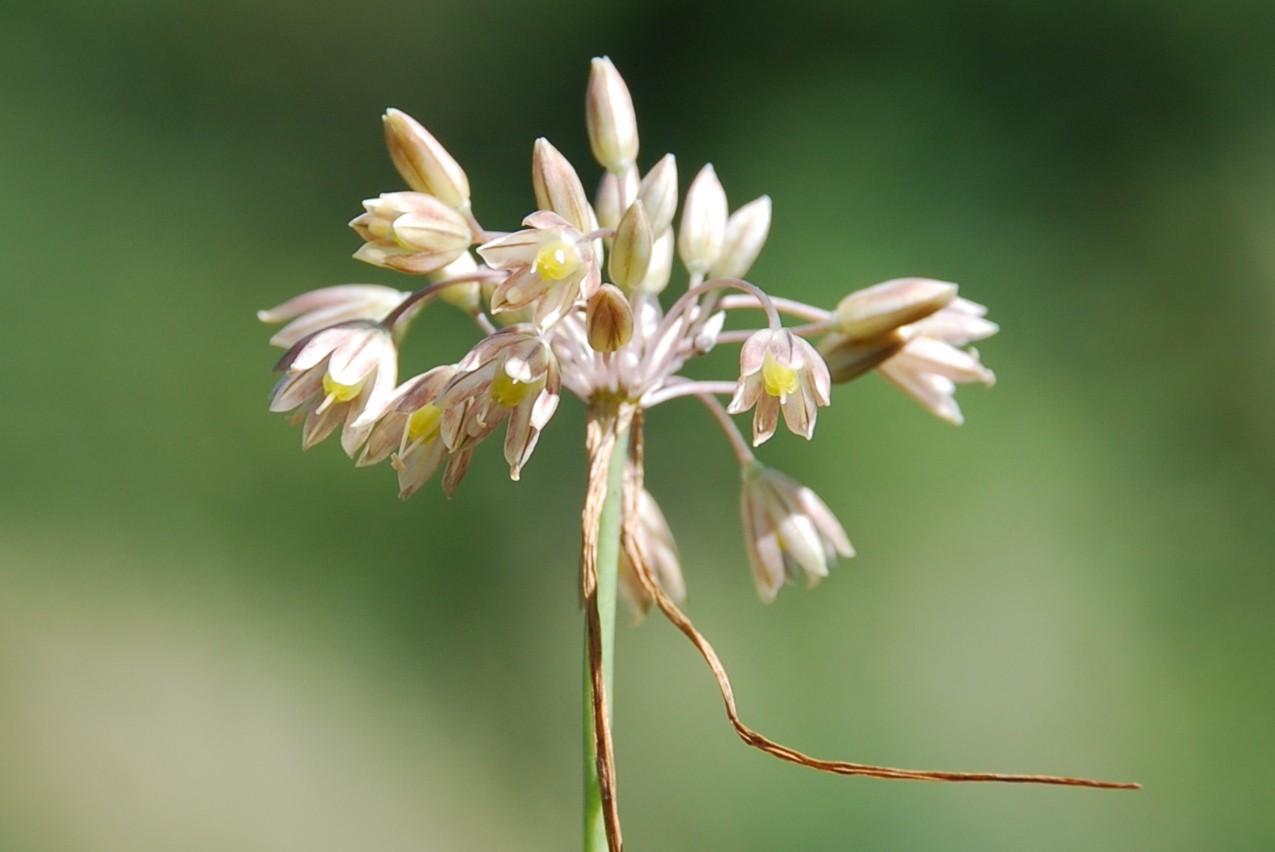 Allium tenuiflorum 12