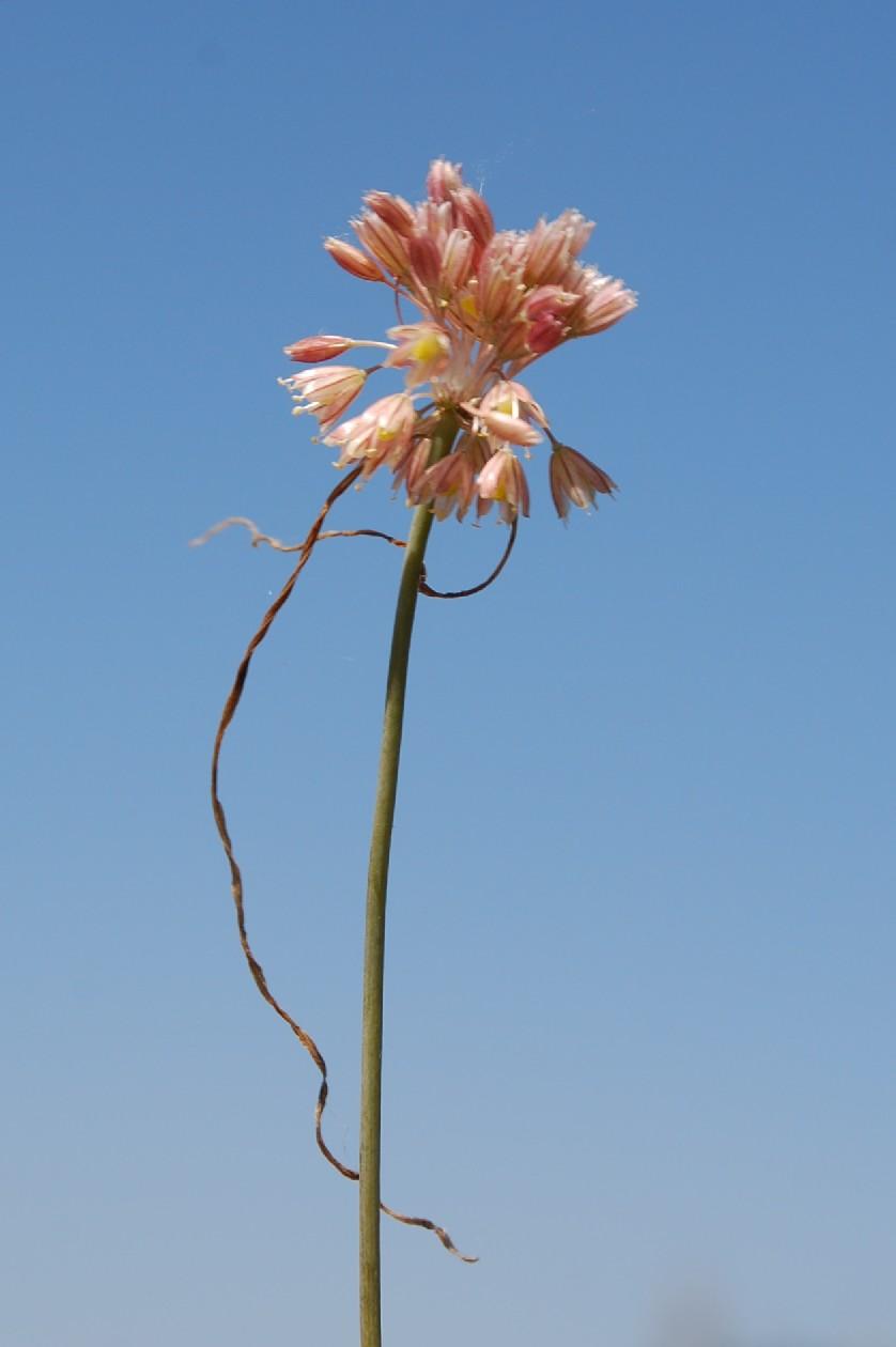 Allium tenuiflorum 13