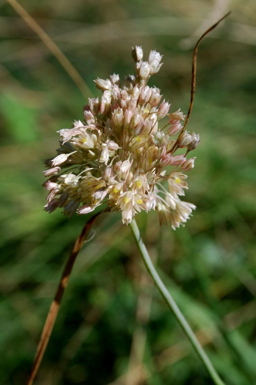 Allium tenuiflorum 15