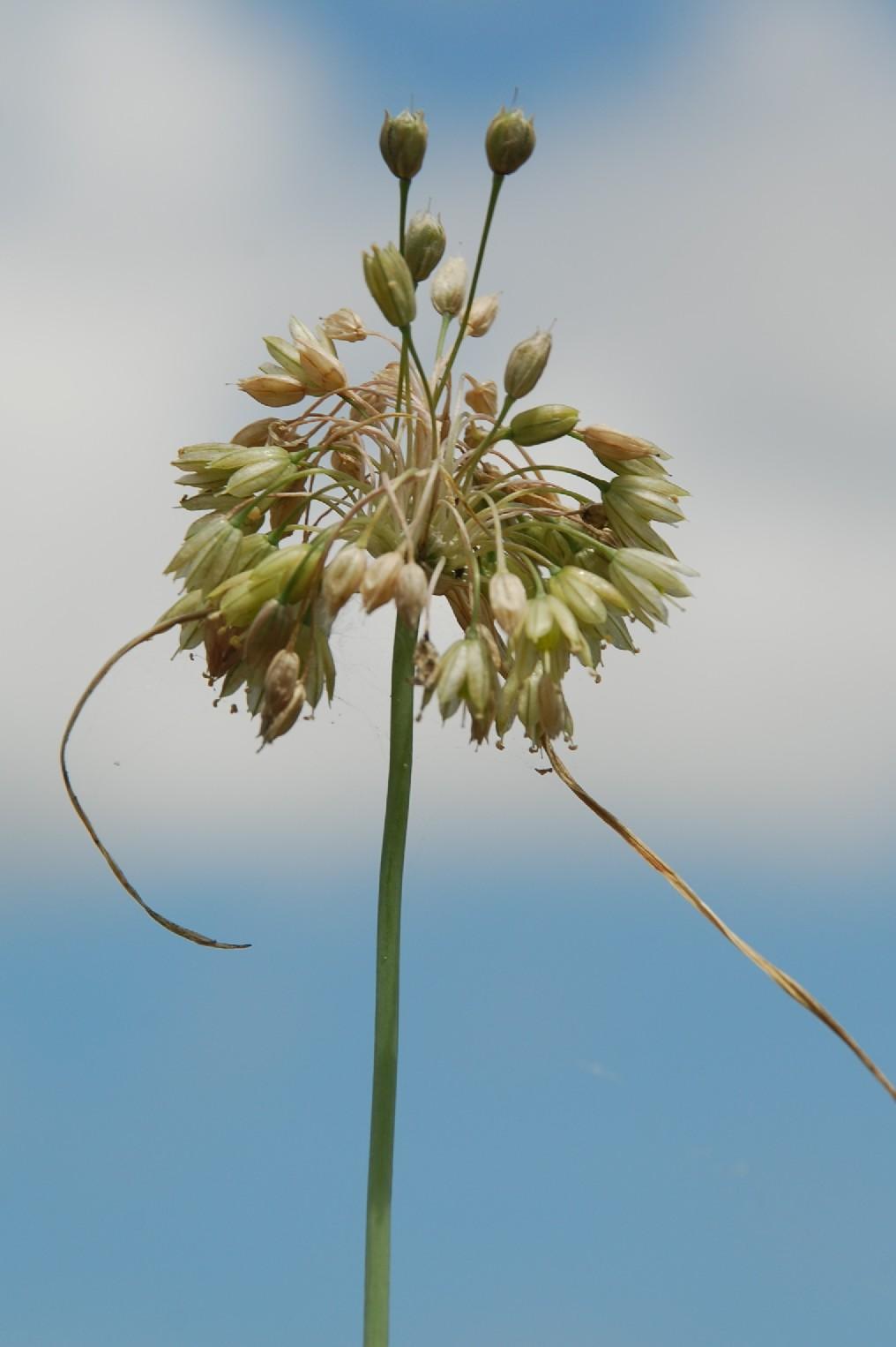 Allium tenuiflorum 16