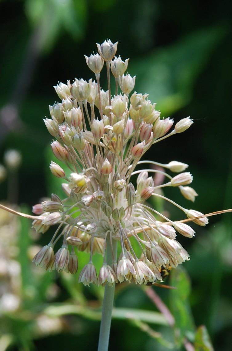 Allium tenuiflorum 18