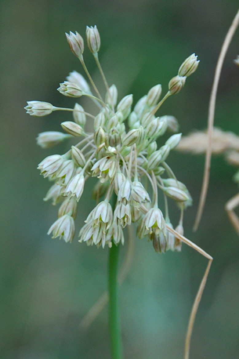 Allium tenuiflorum 2