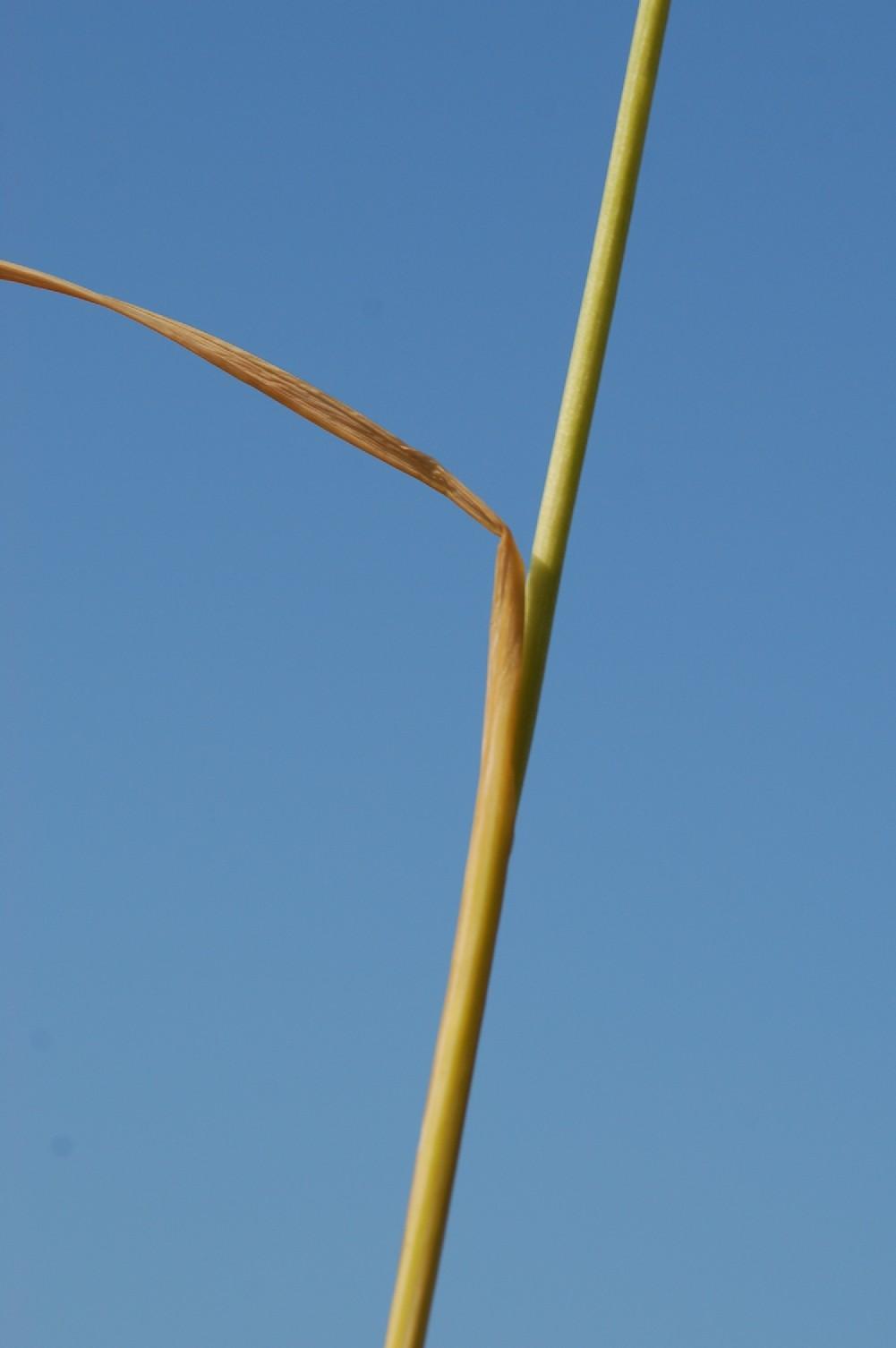 Allium tenuiflorum 7