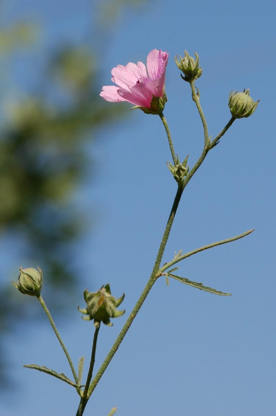 Althaea cannabina 16