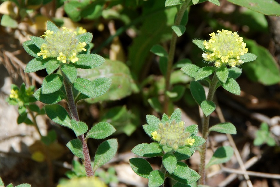 Alyssum campestre subsp. campestre 11